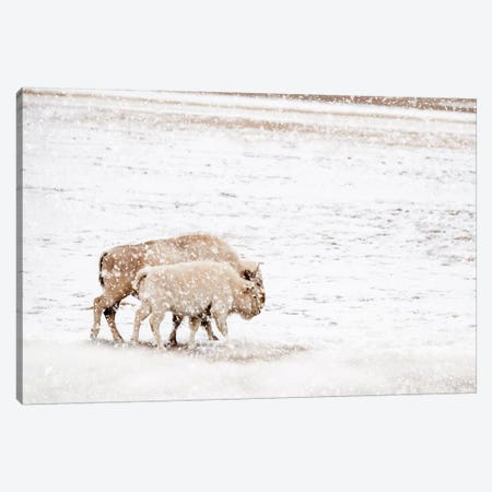 White Buffalo Cow And Calf In Snow Canvas Print #TEJ75} by Teri James Canvas Print