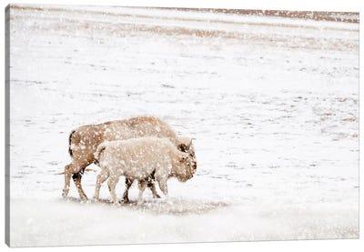 White Buffalo Cow And Calf In Snow Canvas Art Print