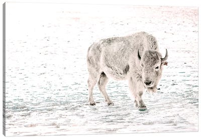 White Buffalo Solo Canvas Art Print