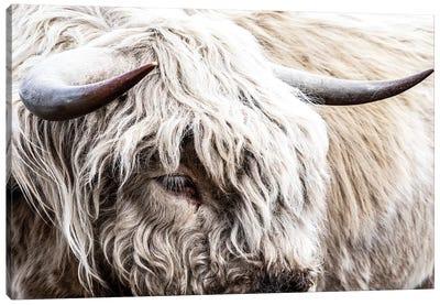 White Highland Bull Canvas Art Print