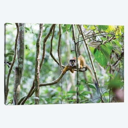 Squirrel Monkey, Costa Rica Canvas Print #TEO1003} by Matteo Colombo Canvas Print