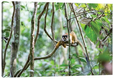 Squirrel Monkey, Costa Rica Canvas Art Print