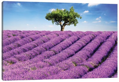 Lavender Field And Tree, Provence Canvas Art Print