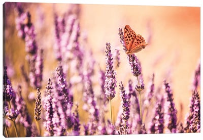 Butterfly In Lavender Field, Provence, France Canvas Print #TEO23