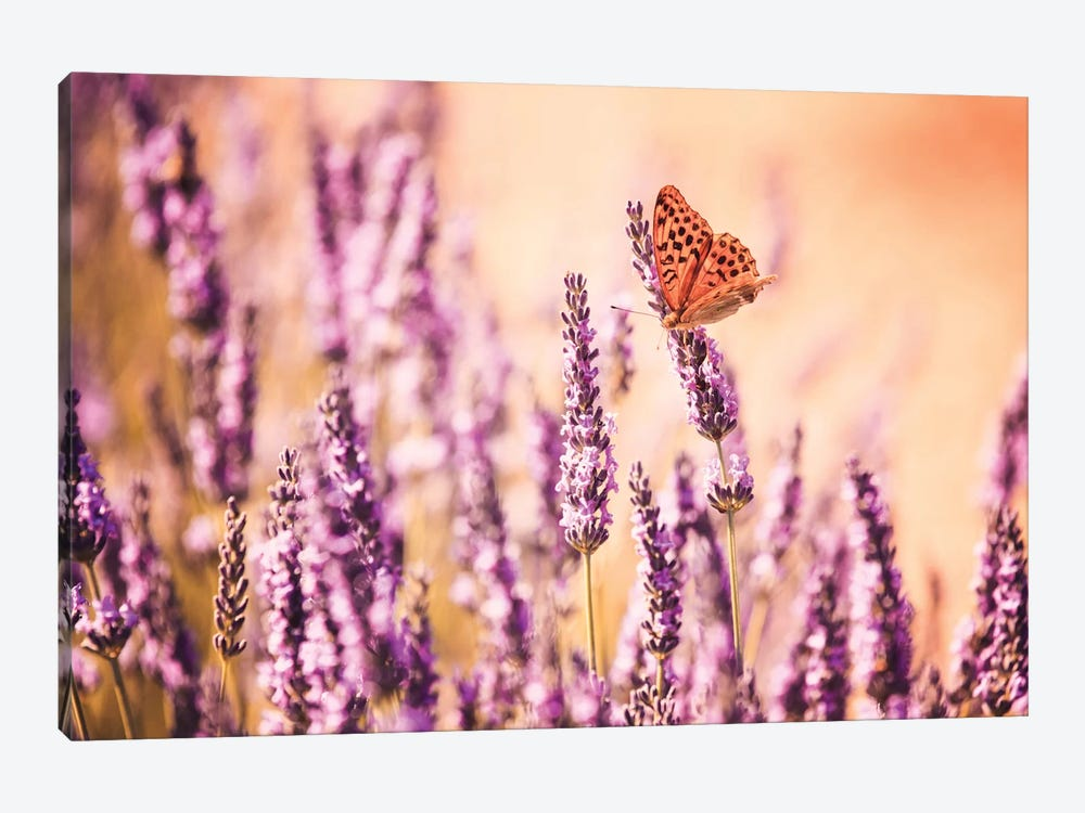 Butterfly In Lavender Field, Provence, France by Matteo Colombo 1-piece Canvas Art Print