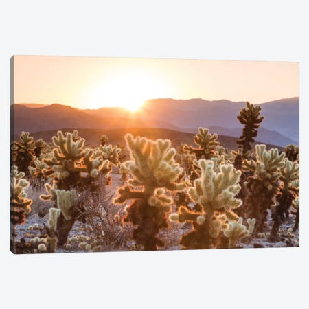Cactus Garden, Joshua Tree National Park, California, USA Canvas Print #TEO25} by Matteo Colombo Canvas Print