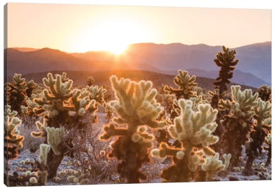 Cactus Garden, Joshua Tree National Park, California, USA Canvas Art Print