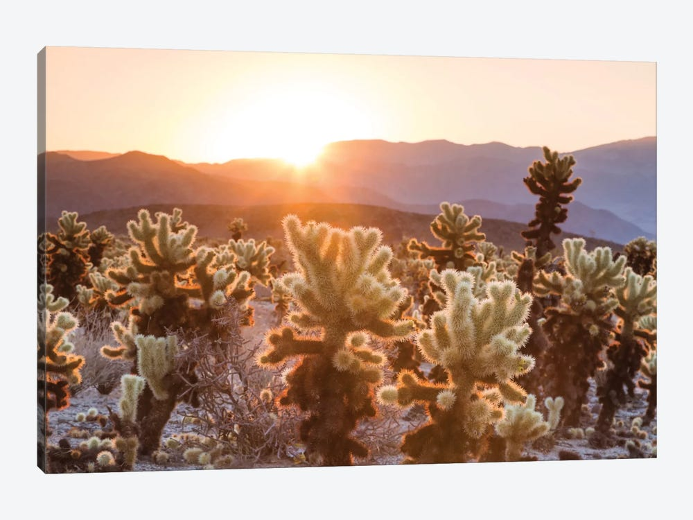 Cactus Garden, Joshua Tree National Park, California, USA by Matteo Colombo 1-piece Canvas Print