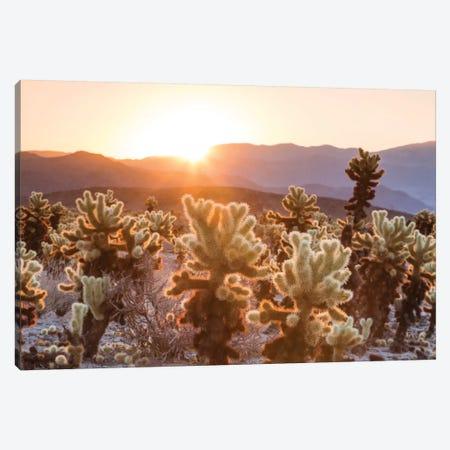 Cactus Garden, Joshua Tree National Park, California, USA Canvas Print #TEO25} by Matteo Colombo Canvas Print