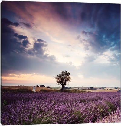 Tree In Lavender Field, Provence Canvas Art Print