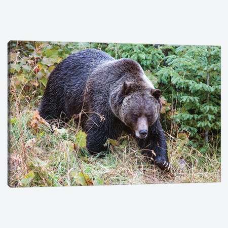 Grizzly Bear I Canvas Print #TEO287} by Matteo Colombo Art Print