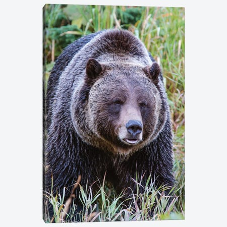 Grizzly Bear II Canvas Print #TEO288} by Matteo Colombo Canvas Wall Art