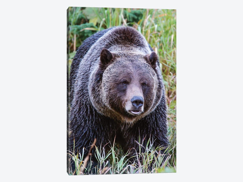Grizzly Bear II by Matteo Colombo 1-piece Art Print
