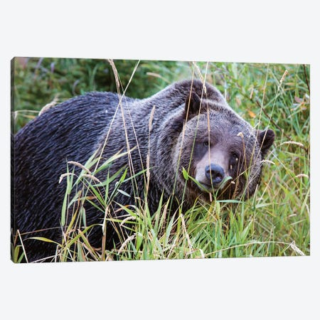 Grizzly Bear III Canvas Print #TEO289} by Matteo Colombo Canvas Wall Art