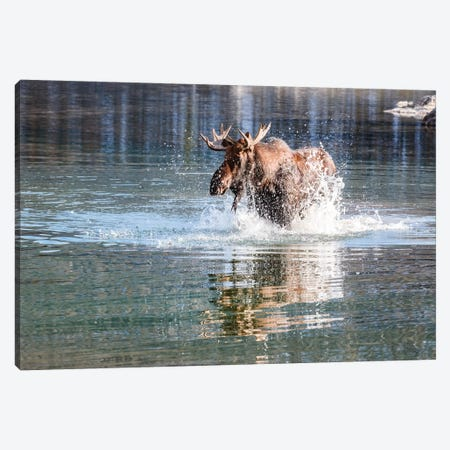 Moose Crossing Canvas Print #TEO294} by Matteo Colombo Canvas Art