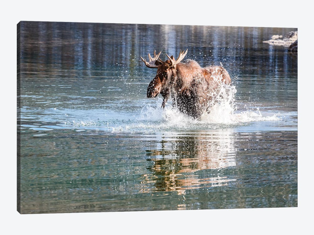 Moose Crossing by Matteo Colombo 1-piece Canvas Artwork
