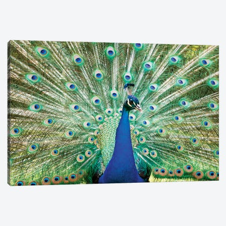 Colorful Peacock Canvas Print #TEO30} by Matteo Colombo Canvas Print