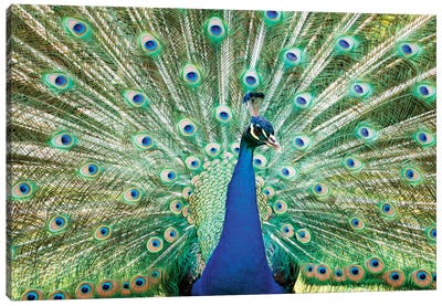 Colorful Peacock Canvas Print #TEO30