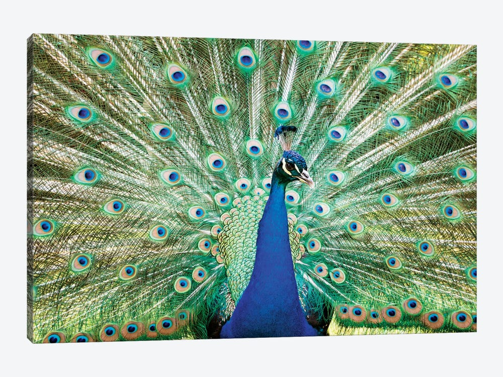 Colorful Peacock by Matteo Colombo 1-piece Art Print