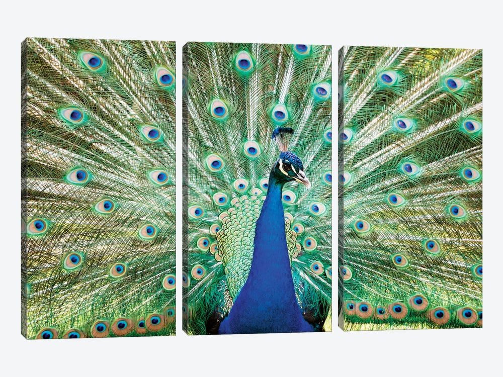 Colorful Peacock by Matteo Colombo 3-piece Canvas Art Print