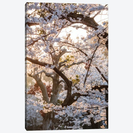 Cherry Tree, Tokyo, Japan Canvas Print #TEO360} by Matteo Colombo Art Print