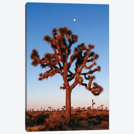 Joshua Tree, California, USA Canvas Print #TEO46} by Matteo Colombo Art Print