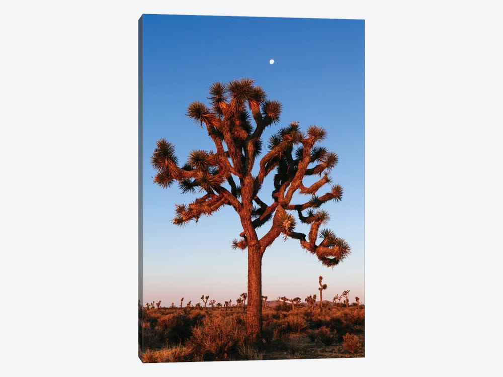 Joshua Tree, California, USA by Matteo Colombo 1-piece Canvas Wall Art