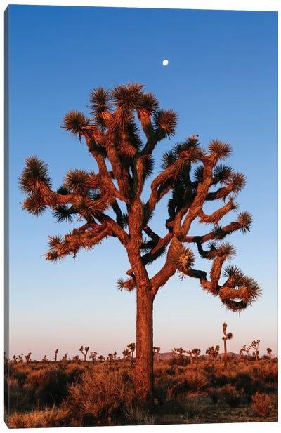 Joshua Tree, California, USA Canvas Art Print