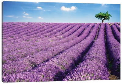Lavender Field And Tree In Summer, Provence, France Canvas Print #TEO49