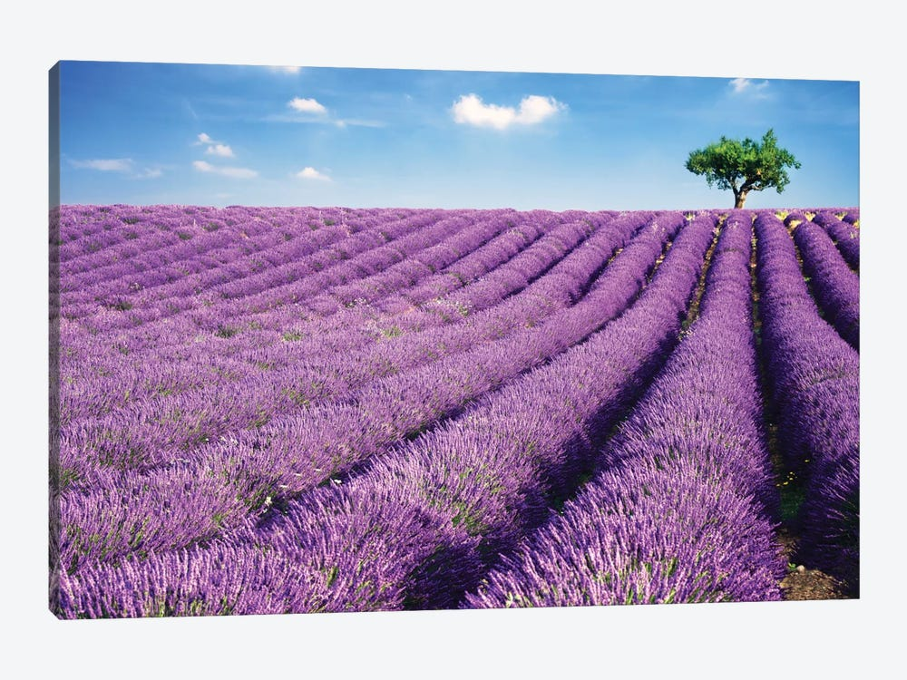 Lavender Field And Tree In Summer, Provence, France by Matteo Colombo 1-piece Art Print