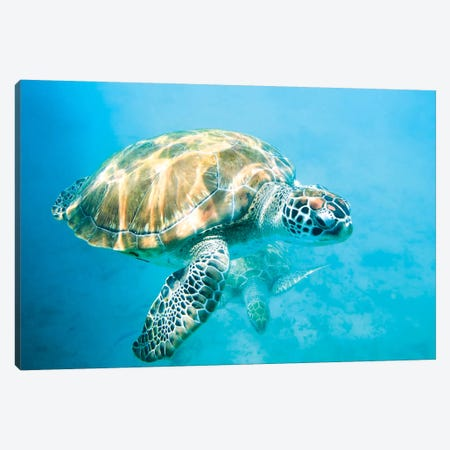 Sea Turtle I Canvas Print #TEO509} by Matteo Colombo Canvas Art Print