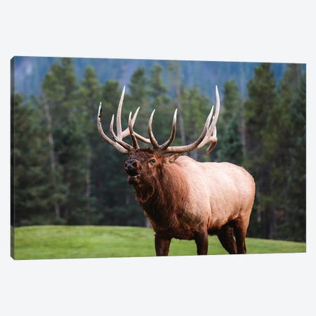Bull Elk, Canada I Canvas Print #TEO549} by Matteo Colombo Art Print