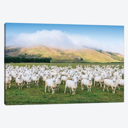 Flock Of Sheep, New Zealand Canvas Print #TEO575} by Matteo Colombo Canvas Art Print