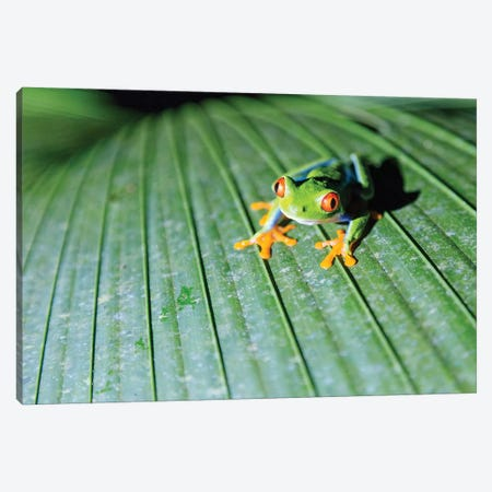 Red Eyed Tree Frog, Costa Rica Canvas Print #TEO623} by Matteo Colombo Canvas Art