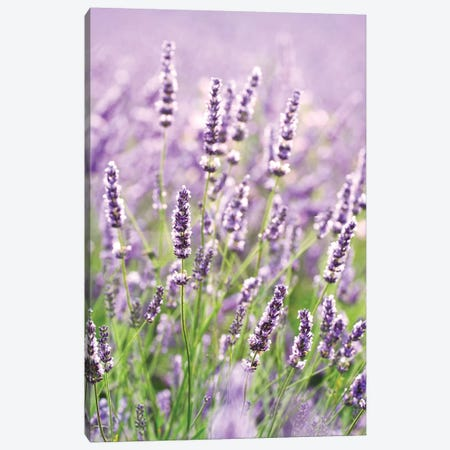 In The Lavender Canvas Print #TEO762} by Matteo Colombo Art Print
