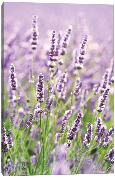 In The Lavender Canvas Art Print
