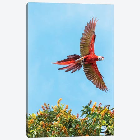 Scarlet Macaw, Costa Rica Canvas Print #TEO784} by Matteo Colombo Canvas Artwork