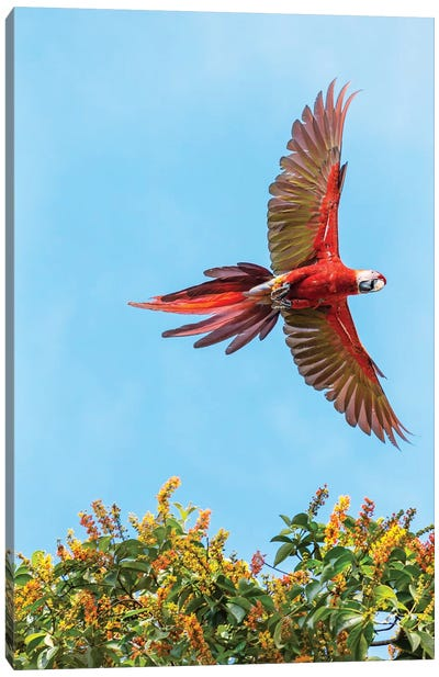 Scarlet Macaw, Costa Rica Canvas Art Print