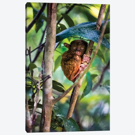 Tarsier, Philippines I Canvas Print #TEO790} by Matteo Colombo Canvas Wall Art