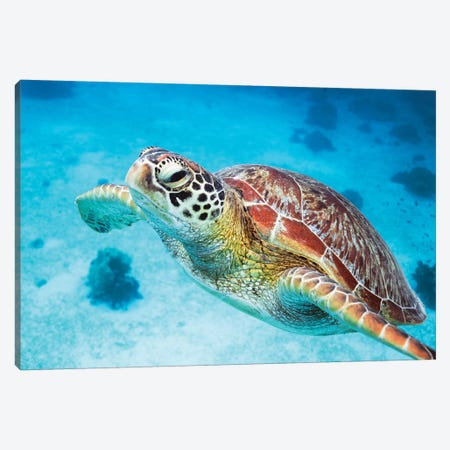 Green Turtle I Canvas Print #TEO805} by Matteo Colombo Canvas Art Print