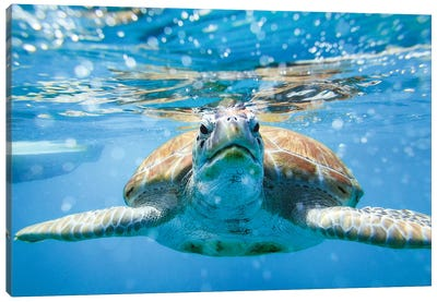 Vis A Vis With The Turtle Canvas Art Print