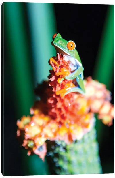 Red Eyed Frog, Costa Rica Canvas Art Print