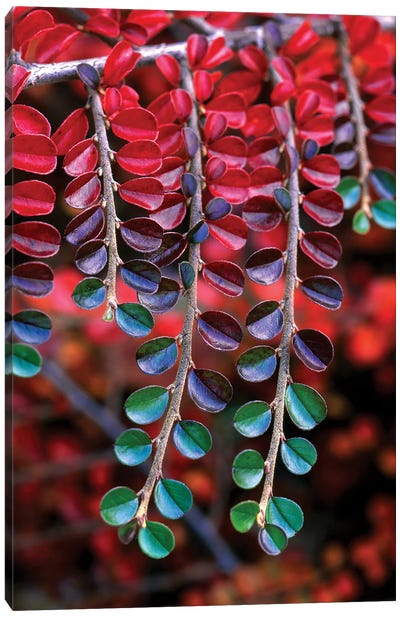 Cotoneaster Branches In Zoom, Multnomah County, Oregon, USA Canvas Art Print