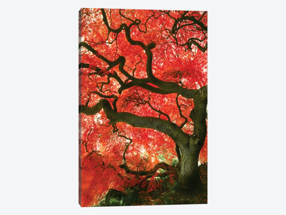 Vibrant Low-Angle View Of A Japanese Maple Tree, Portland, Oregon, USA by Steve Terrill 1-piece Canvas Wall Art