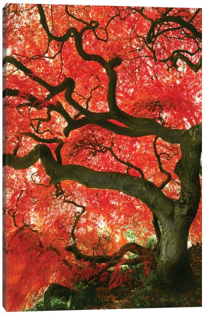 Vibrant Low-Angle View Of A Japanese Maple Tree, Portland, Oregon, USA Canvas Art Print
