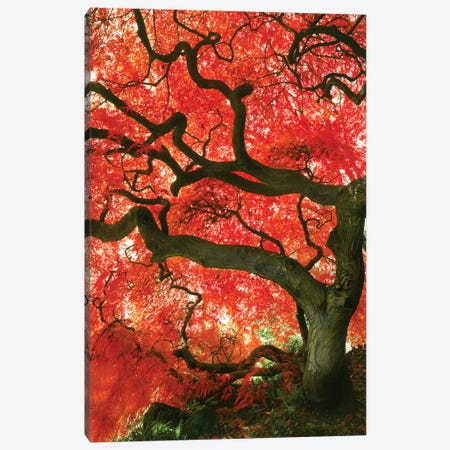 Vibrant Low-Angle View Of A Japanese Maple Tree, Portland, Oregon, USA Canvas Print #TER3} by Steve Terrill Art Print