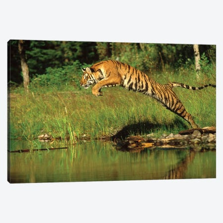 Siberian Tiger Leaping Across River, Asia Canvas Print #TFI1001} by Tim Fitzharris Canvas Print