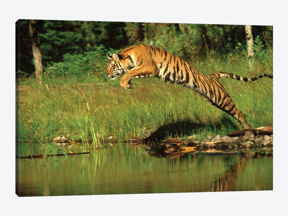 Siberian Tiger Leaping Across River, Asia by Tim Fitzharris 1-piece Canvas Artwork