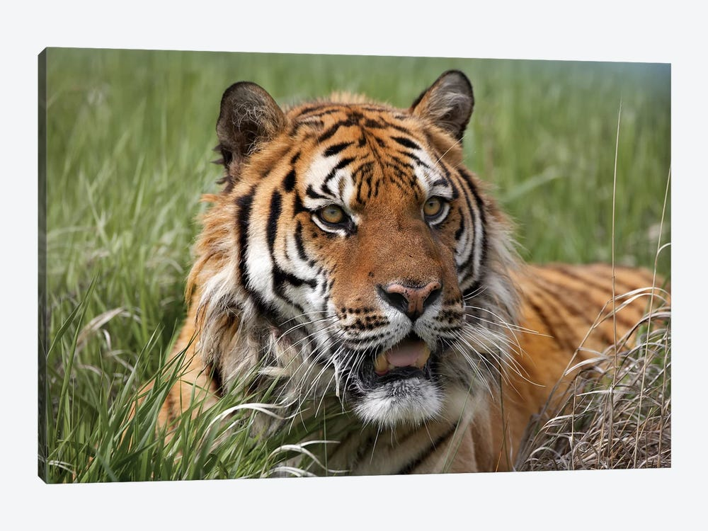Siberian Tiger Portrait, Endangered, Native To Siberia I by Tim Fitzharris 1-piece Art Print