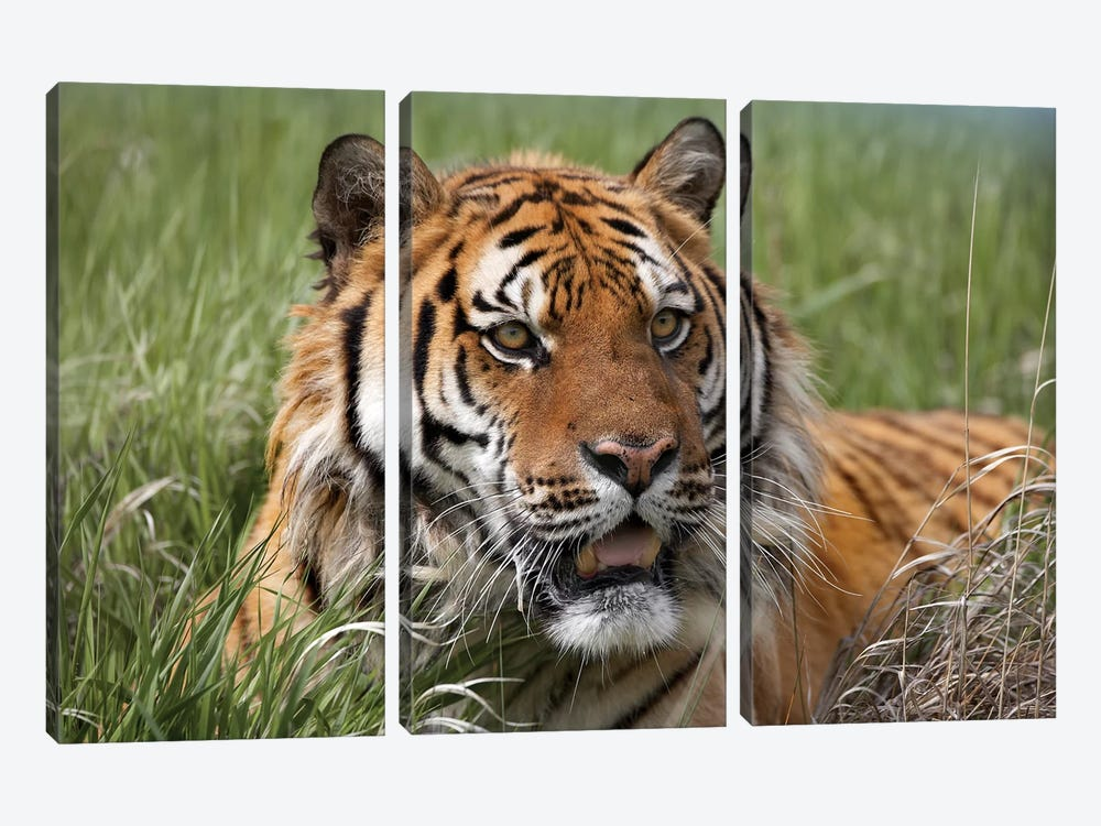 Siberian Tiger Portrait, Endangered, Native To Siberia I by Tim Fitzharris 3-piece Art Print
